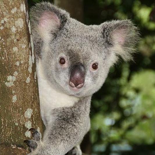 AKAP4 in Koala (phascolarctos cinereus)-image