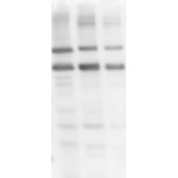 Western Blot (Human spermatozoa)