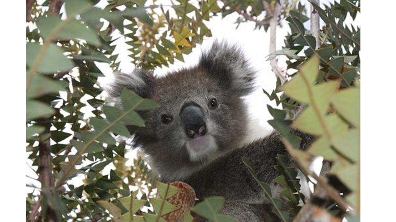 koala 4bioDx