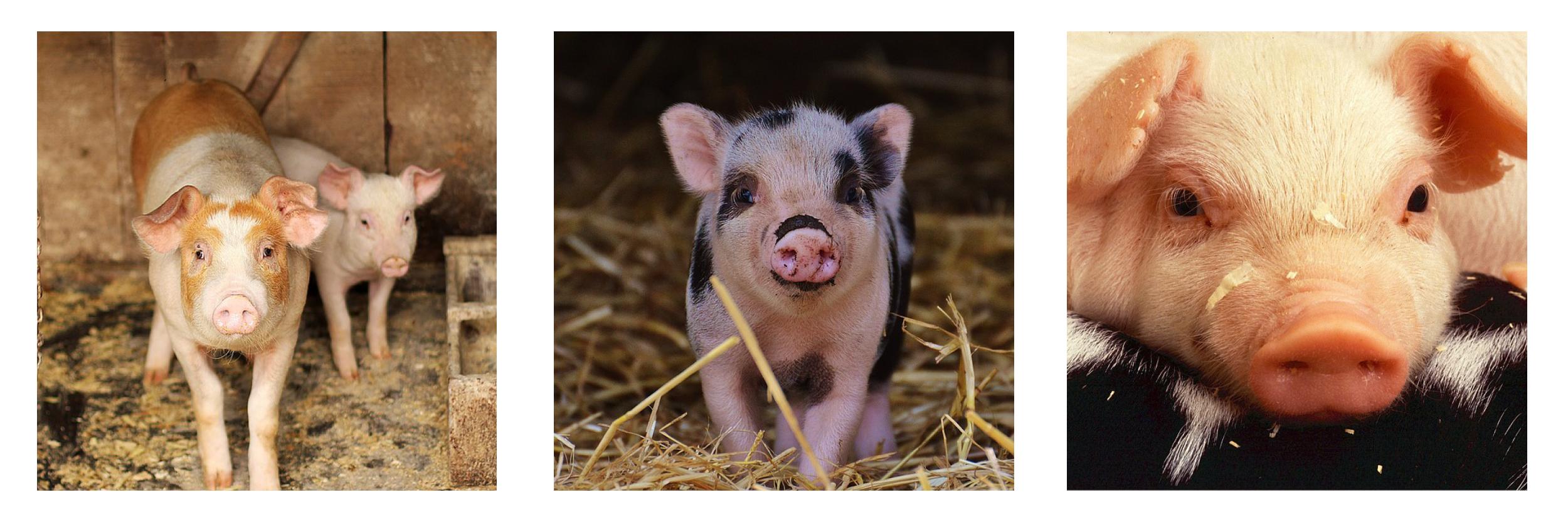 header pig.png